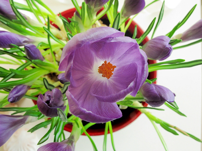 Crocuses in a pot